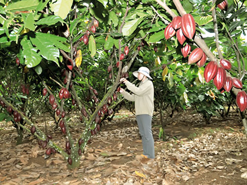 Cocoa production in Africa