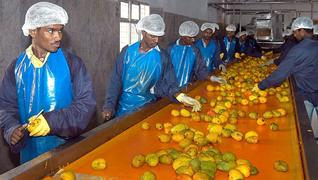 Mango production in Africa