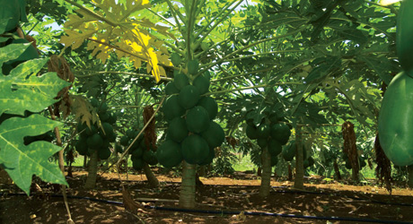 Papaya production in Africa