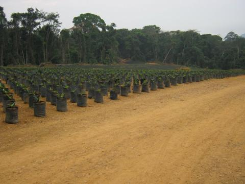 Palm Oil Project in Cameroon