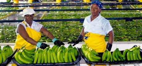 Banana Industries in Africa