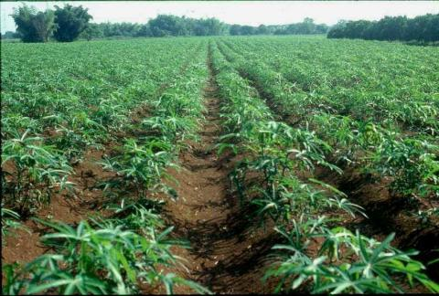 Africa Targets Mass Cassava Production