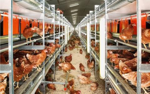 ready to raise poultry output in Africa