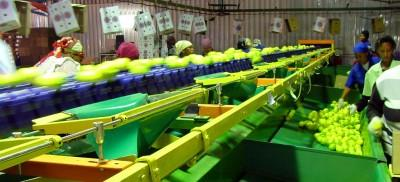 Optical Fruit Sorting Production in Africa