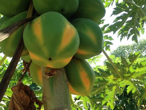 Papaya opportunity in Africa