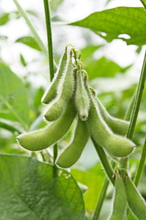 The Wonderful Soybean in Africa