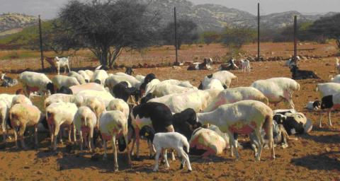 Small Ruminant Production in Africa